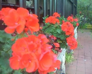 Geraniums on the front porch in Navelli